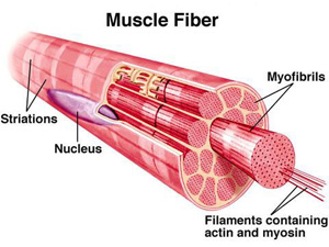 muscle fiber types 101: fast twitch vs. slow twitch, Muscles