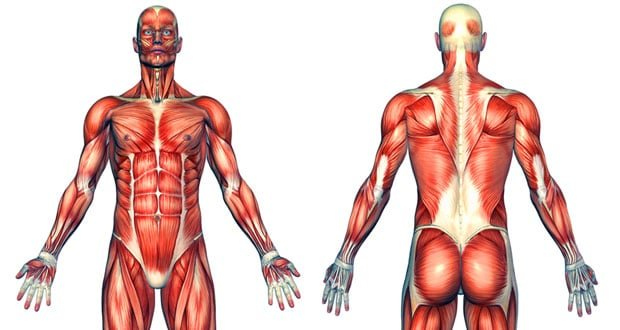 1 Pound Of Muscle Burns 7 To 13 Calories Not 50 Builtlean