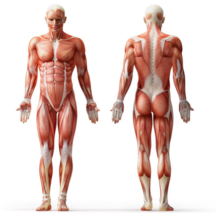 How Do Muscles Grow The Science Of Muscle Growth