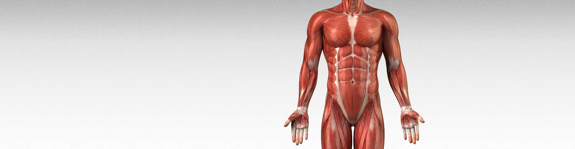 how do muscles grow? the science of muscle growth, Muscles