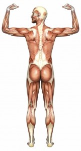 human-anatomy-back-muscles