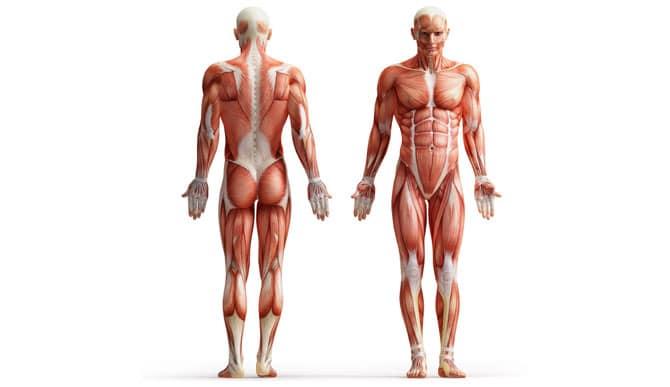 AnatomyFrontBack